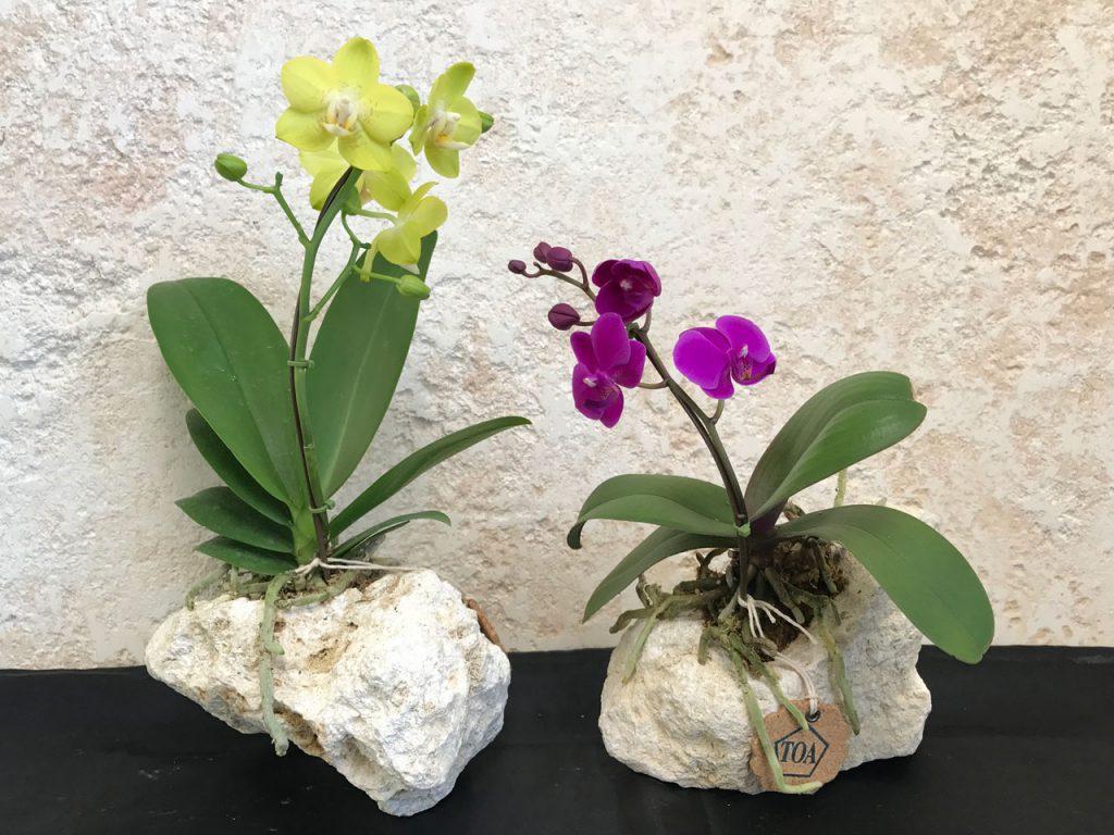 琉球石灰岩アレンジメント ミニ胡蝶蘭