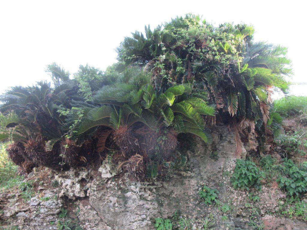 琉球石灰岩に咲くソテツ?