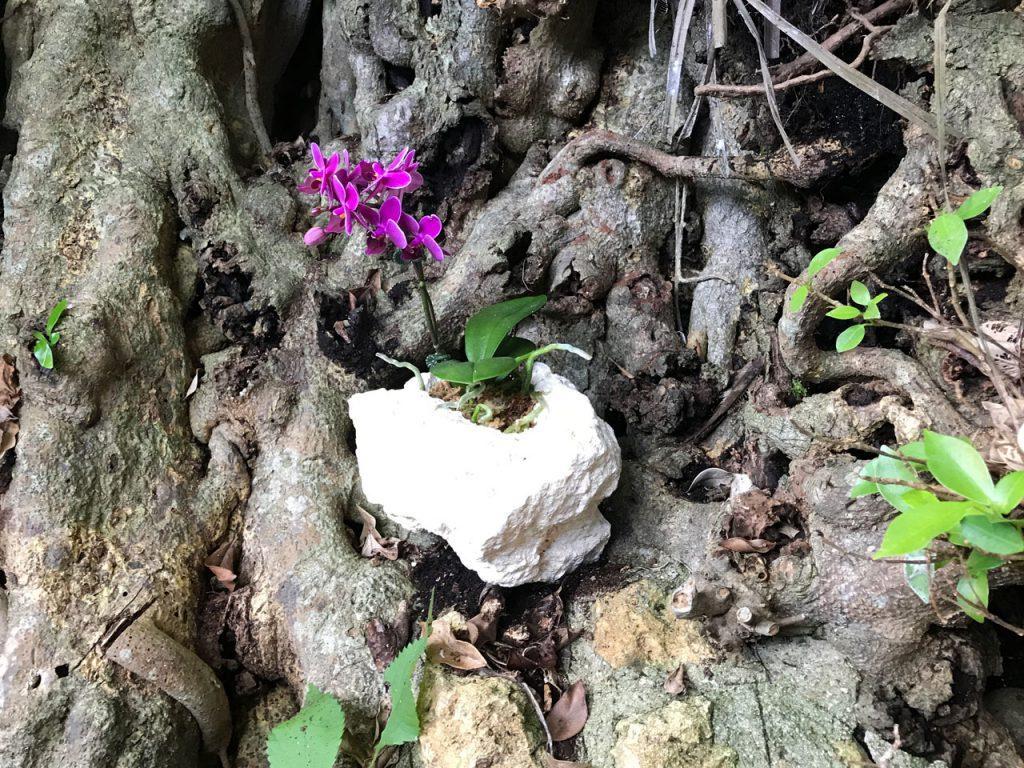 琉球石灰岩アレンジメント 木の根から咲く琉球石化岩と胡蝶蘭 あったらいいね!